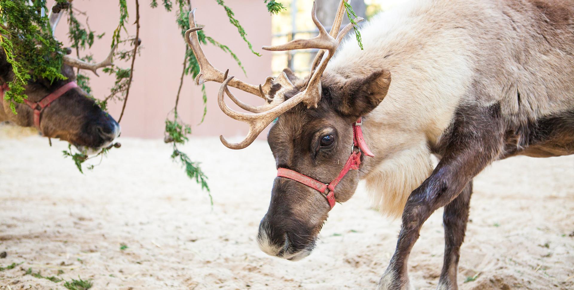 cal-academy-reindeer